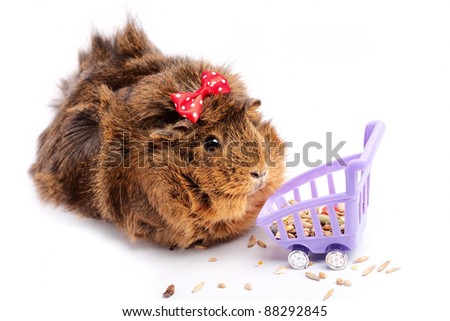 Shopping. Funny guinea pig portrait over white background - stock photo
