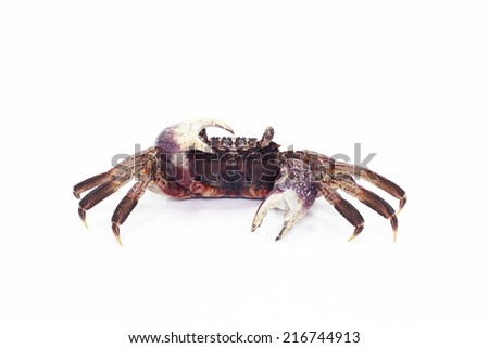 shore crab  on white background