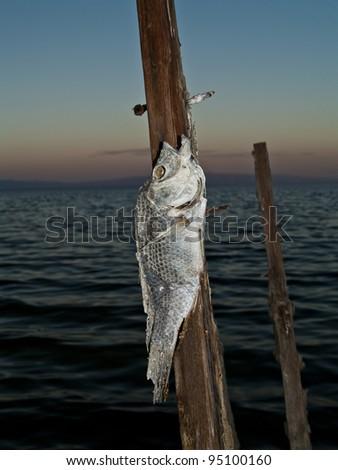 Shore of fish bones.  Environmental disaster at the polluted Salton Sea (California). - stock photo