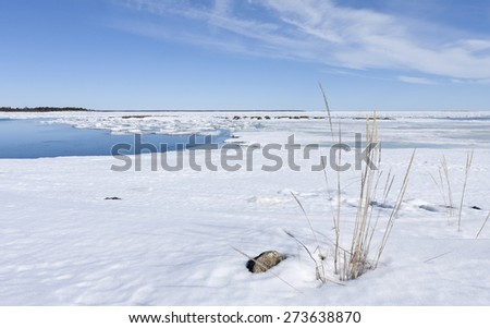 Shore of the Baltic Sea in March during the day, hours when the ice at sea breaks up. Sunny day by the sea. Some stones, yellow straws this side. - stock photo
