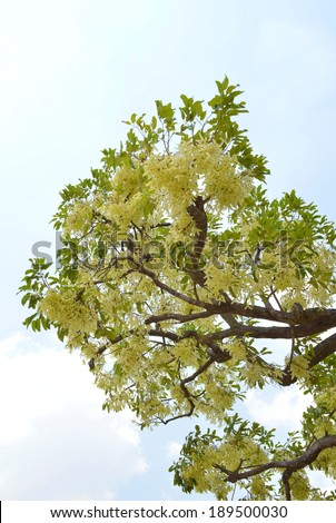 Shorea roxburghii, blossoming summer tree in northeast of Thailand - stock photo
