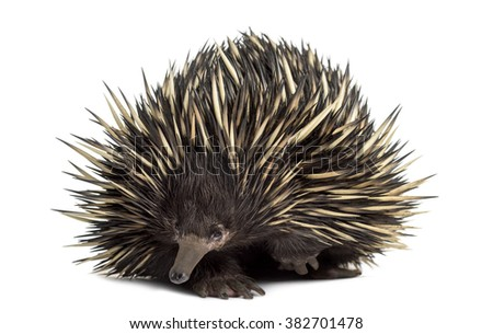Short-beaked echidna isolated on white (20 years old) - stock photo