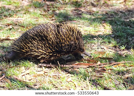 Short-beaked Echidna (Tachyglossus aculeatus) searching for food on Raymond Island in Lake King, Victoria, Australia.
