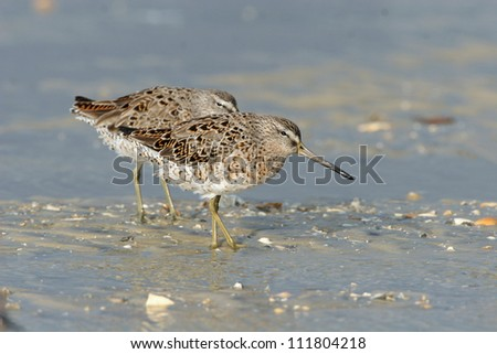 short-billed dowitcher - stock photo