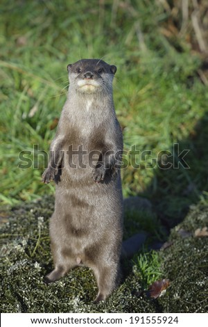 short clawed otter - stock photo