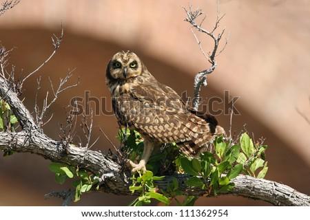 Short-eared Owl - stock photo