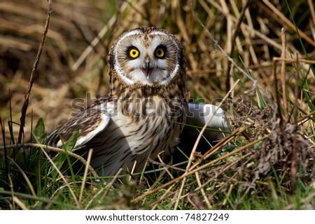 Short eared owl - stock photo