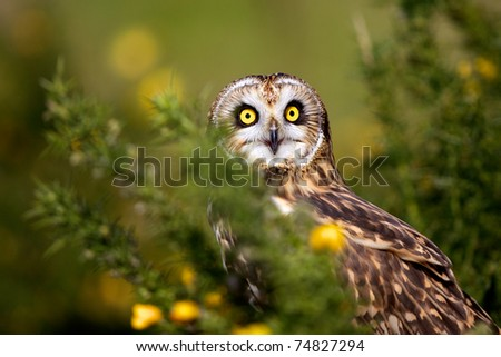 Short eared owl and yellow gorse flowers - stock photo