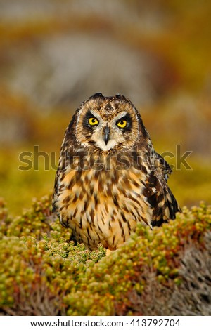 Short-eared Owl, Asio flammeus sanfordi, rare endemic bird from Sea Lion Island, Fakland Islands, Owl in the nature habitat. Owl with nice evening sun.  - stock photo