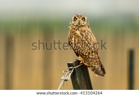 Short-eared Owl - Asio flammeus sitting on the steel profile in the rain