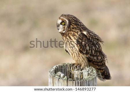 Short-eared Owl, at Boundary Bay, Delta, BC, Canada