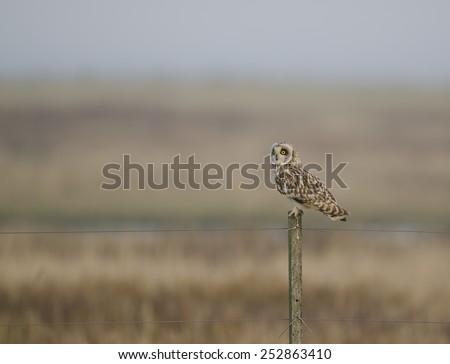 Short eared owl sitting on a pole - velduil  - stock photo