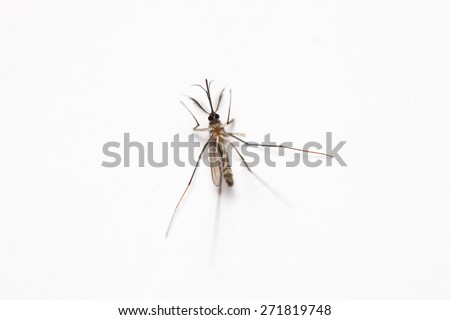 Short focus of Dead mosquito lie-down on white background. - stock photo