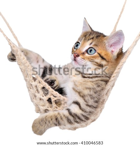 Short Hair brindle kitten lay in hammock on a white background.