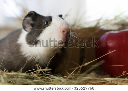Short haired baby guinea pig, cavia porcellus, is a popular household pet. - stock photo