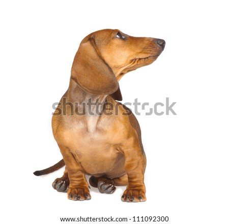 short haired Dachshund Dog isolated over white background