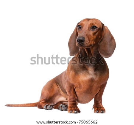 short haired Dachshund Dog isolated over white background - stock photo
