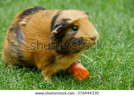 Short haired guinea pig (Cavia porcellus) eating a carrot on the grass. - stock photo