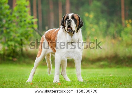 Short-haired saint bernard dog standing on the lawn - stock photo