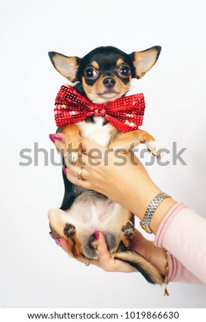 Short-haired tricolor Chihuahua dog wearing a red bow tie and posing indoors in woman's hands on a white background