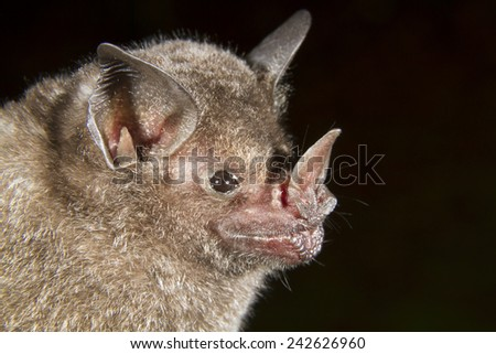 Short-tailed fruit bat (Carollia perspicillata) portrait, Limon, Costa Rica. - stock photo