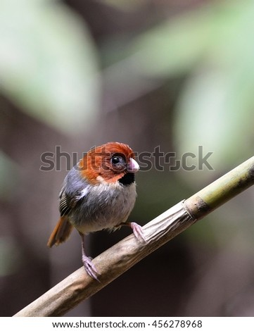 Short-tailed Parrotbill (Neosuthora davidianus), a small cute bird, in the forest of national park Thailand.
