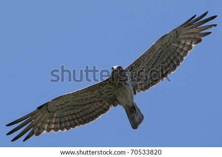 short-toed eagle (Circaetus gallicus) in flight