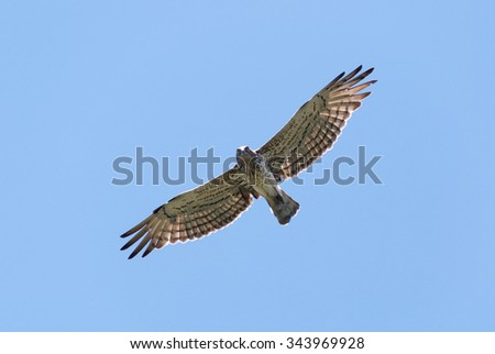 Short-toed eagle overhead looking straight down - stock photo