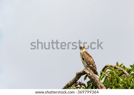 Short-toed snake eagle sitting in a tree in the Masai Mara National Park - stock photo