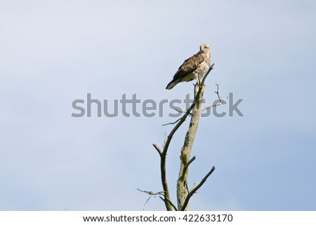 Short-toed snake eagle sitting on the top of dead tree.  - stock photo