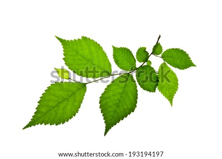 Short twig of elm with green toothed leaves isolated on white