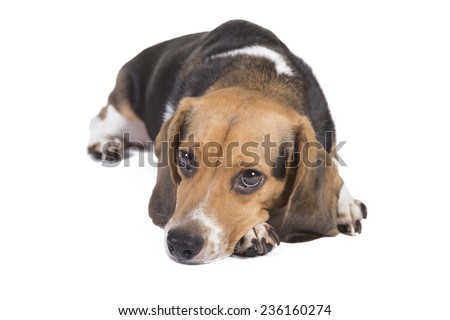 Shot of a beagle laying down looking alert and to the dogs left - stock photo