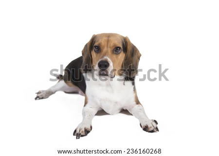 Shot of a beagle sitting down looking alert and at the camera.  - stock photo