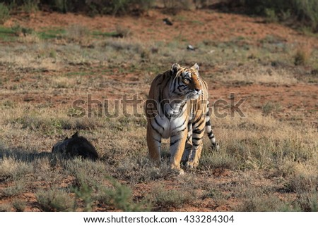 Shot of a Bengal Tiger in the wild with its kill