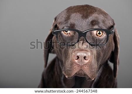 Shot of a Chocolate Labrador in Glasses - stock photo