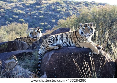 Shot of a pair of Tiger cubs in the wild