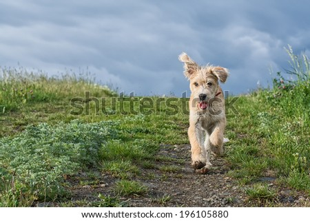 shot of cute puppy running in the grass - stock photo