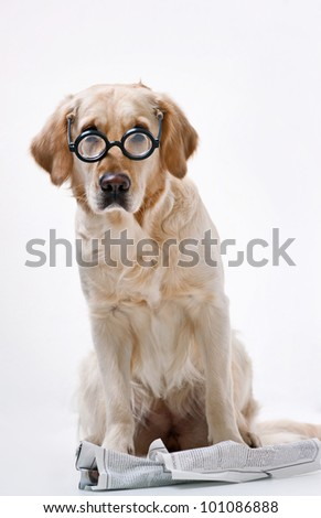 Shot of Golden Retriever with the newspaper