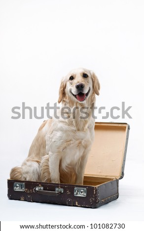 Shot of Golden Retriever with the suitcase