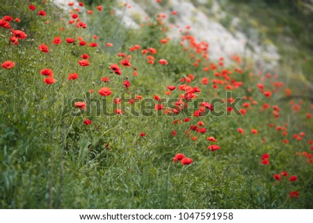 Shot of red poppy field in late may