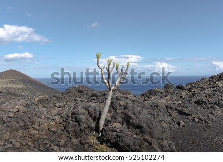 "Shot of the famous hiking path ""Ruta de los vulcanos"" , taken in the south of la Palma nearby Los Canarios. The foreground shows a small drago tree between lava rocks"