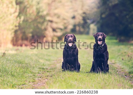 Shot of Two Chocolate Labradors on Forest Path - stock photo