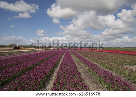 Shot or a beautiful tulip field with purple tulips in a row