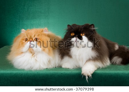 Show champion Persians on green background fabric - stock photo