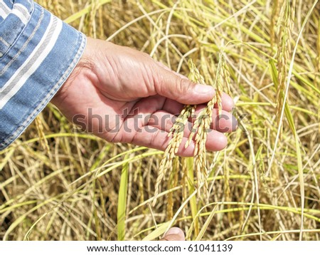 Show rice in the field