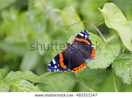 Showing a red admiral Vanessa atalanta butterfly sat on a green leaf