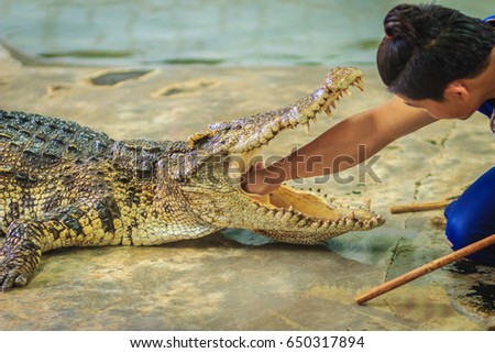 Showman using his hand to delve to the throat of the opened mouth's crocodile. The stuntman puts his hand into the crocodile's mouth.