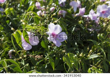Showy pink blooms of Allamanda  a genus of flowering plants in the dogbane family, Apocynaceae, seen here flowering in late spring with delicate  trumpet shaped flowers. - stock photo