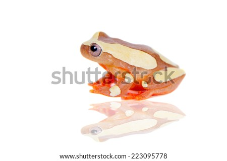 Shreve's Sarayacu treefrog isolated on white - stock photo
