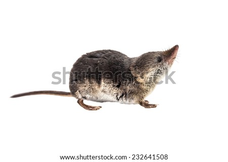 Shrews are among the most primitive animals on planet earth. All modern mammals descend from these early insectivores - stock photo